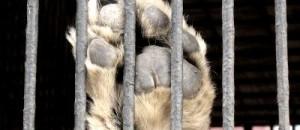Tomi, l'ours «le plus triste du Monde» est enfin sorti de l'enfer de sa minuscule cage