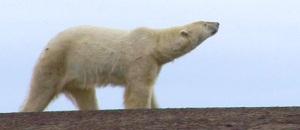 Les ours peuvent-ils reconnaître une photo ?