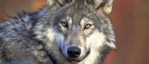 Wolf shoot