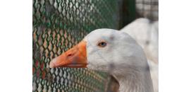 Foie gras: l'arrêté sur la mise aux normes européennes des élevages publié