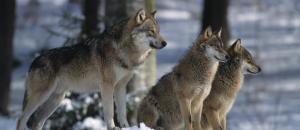 Une brigade de 10 «emplois jeunes» pour aider à mieux tuer des loups…