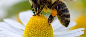 Faites un abreuvoir pour les abeilles