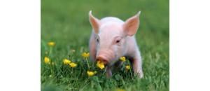 La vraie vie du petit Cochonnou, le petit porc «bien de chez nous».En France, les professionnels estiment à 90% le nombre d'élevages intensifs pour l'industrie du commerce de la viande de porc !