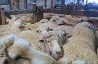 La très cruelle «laine  responsable» de Patagonia