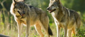 A réécouter sur France Culture sur les loups…