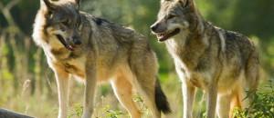 Manif pour le loup: déjà 9 tués dans le 06!