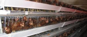 Contre le confinement légal des poules! signez SVP!