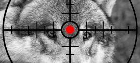 Dixième loup tué dans les alpes maritimes!!
