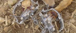 Manifestation contre la cruauté de la fourrure…