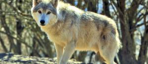 Loup: les agriculteurs demandent le tir de 12 loups supplémentaires