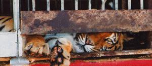 A propos de la souffrance animale par le cirque de venise…