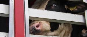 transports d'animaux: le supplice!! vidéo