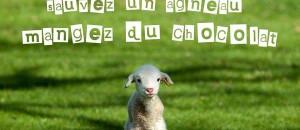 La vie de misère des agneaux