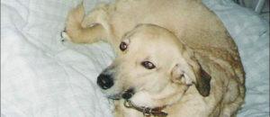 «Jesse, une chienne qui trime» sur les cahiers antispécistes