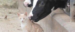 La vache laitière n'est plus un être vivant mais un simple numéro