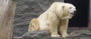 Mort d'Arturo, ours polaire en captivité
