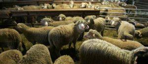 pour dire NON à la cruauté des abattoirs !!