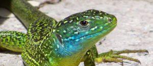 conférence sur les reptiles des AM