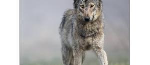 Manifestation contre les tirs de loups