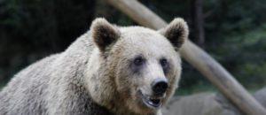 Protection de l'Ours Brun des Pyrénées