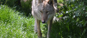 Les Loups :  des animaux partout menacés